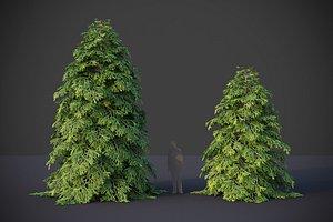 3D XfrogPlants Eastern Hemlock - Tsuga Canadensis model