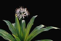XfrogPlants Spider Lily - Crinum Asiaticum