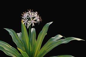 XfrogPlants Spider Lily - Crinum Asiaticum 3D model