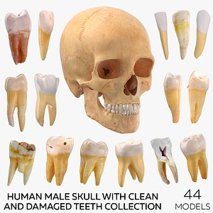 3D model Human Male Skull with Teeth Collection - 44 models
