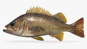 3D rockfish yellowtail fish