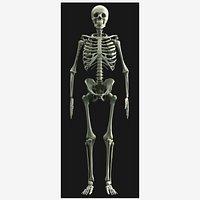 Human Skeleton - High Poly 3D Model