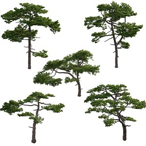 3D Pinus taiwanensi 02