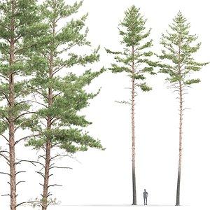 3D pines sylvestris