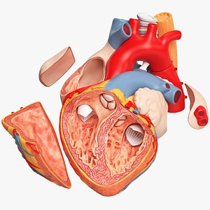 3D Heart Section