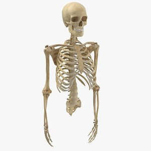human rib cage spine 3D model