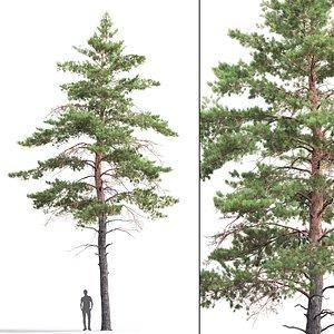 pine sylvestris 06 model