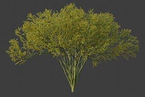 XfrogPlants Palo Blue Verde - Parkinsonia Florida model