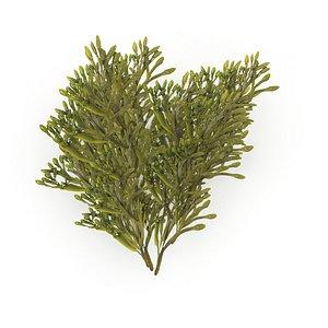 Egg Wrack seaweed H2 3D