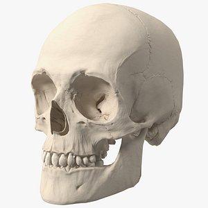3d model of male human skull