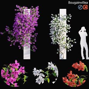 3D model Bougainvillea