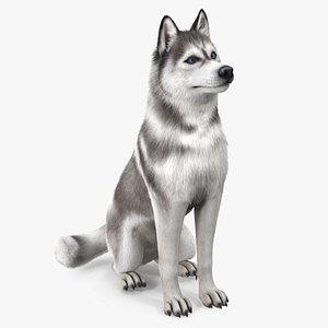 3D Sitting Siberian Husky Gray and White Fur