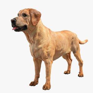 Labrador Retriver 3D model