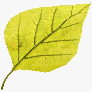 3D Birch Leaf V3