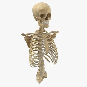 anatomy human male 3D model