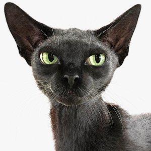 3D Cat Black Fur Shorthair Animated XGen Core model