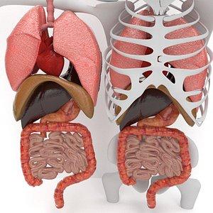 human internal organs 3D model