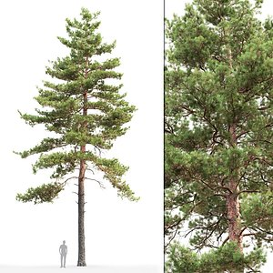 3D tree sylvestris 16 model