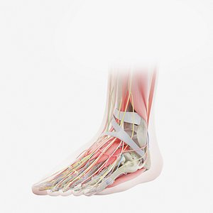 Human Male Foot Anatomy 3D model