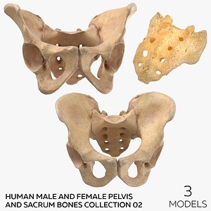 Human Male and Female Pelvis and Sacrum Bones Collection Yellow - 3 models model