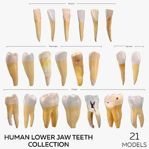 Human Lower Jaw Teeth Collection - 21 models model