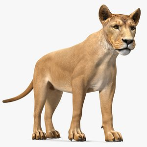 3D Young Lion Walking Pose model