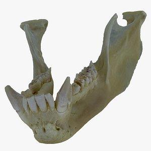 Pavian Monkey Male Jaw (Mandibula) 01 RAW Scan 3D model