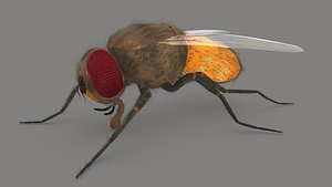 Housefly Male Reproductive system model