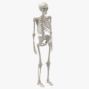 human male skeleton bones 3D model