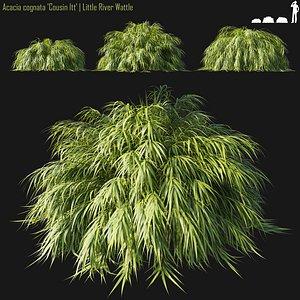 Acacia cognata model