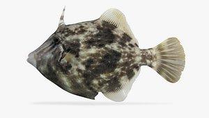 3D planehead filefish fish