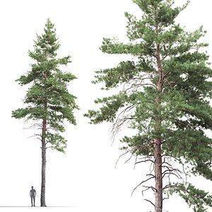 pine sylvestris 07 model