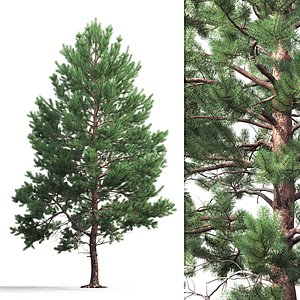 pine sylvestris 04 3D model