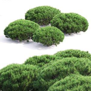 pine mugo 3D model