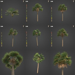 3D 2021 PBR Cabbage Palm Collection - Sabal Palmetto