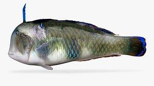 peacock razorfish model