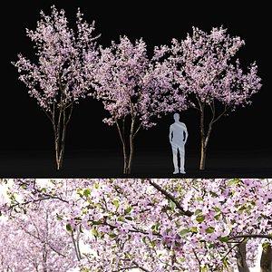 flowering cerasus 3D model