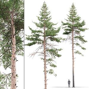 3D pine sylvestris 09