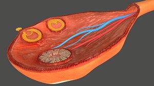 Ovary Cross Section 3D model