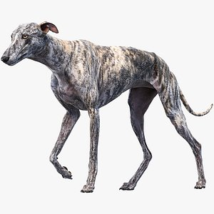 3D realistic greyhound animations model