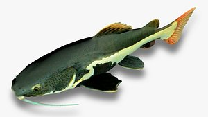 3D Red tailed catfish5 model