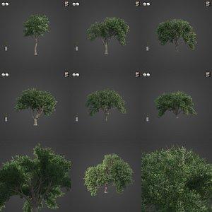 2021 PBR Coast Live Oak Collection - Quercus Agrifolia 3D model