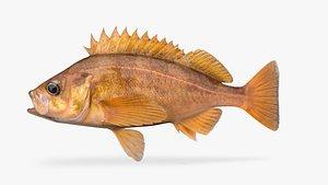 fish speckled rockfish 3D model