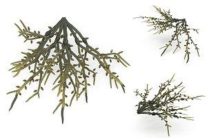 Egg Wrack seaweed 3D model