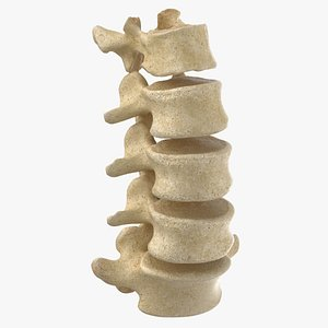 human lumbar vertebrae l1 model