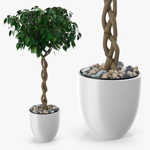 3D Ficus Benjamina Weeping Fig Tree in Pot model
