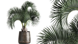 Palm in a rusty flowerpot for the interior 995 3D