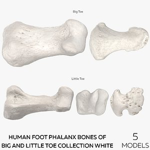 Human Foot Phalanx Bones of Big and Little Toe Collection White - 5 models 3D model