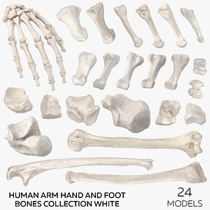 3D model Human Arm Hand and Foot Bones Collection White - 24 models