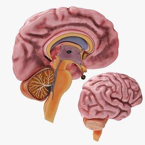 3D Full Brain Anatomy model